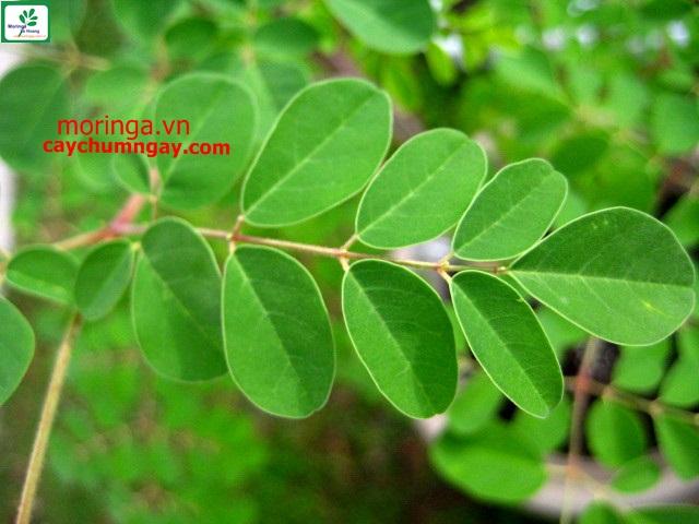 Cây chùm ngây vô cùng dễ trồng, trồng 1 lần ăn quanh năm